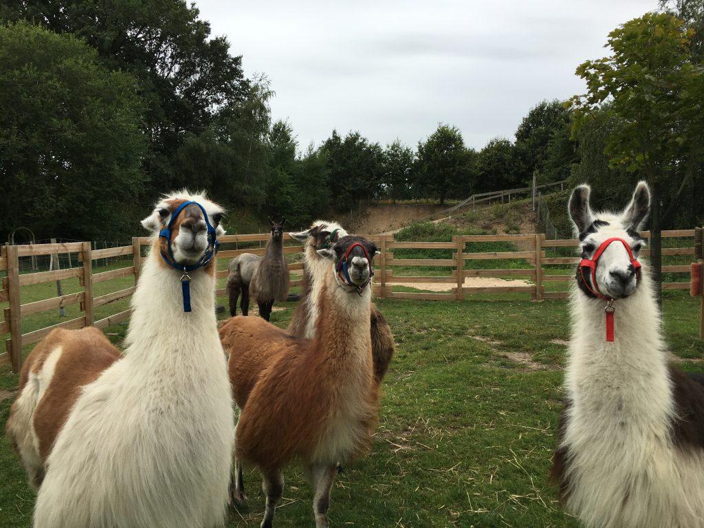 Wandern mit Lamas in der Lüneburger Heide - Lieblingsflecken